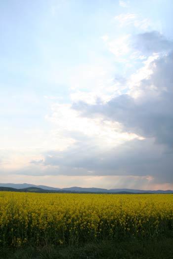 Řepkové pole - exponováno na pole